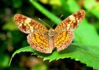 A pillangó története