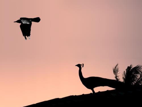 A páva és a varjú – avagy mit is jelent boldognak lenni?
