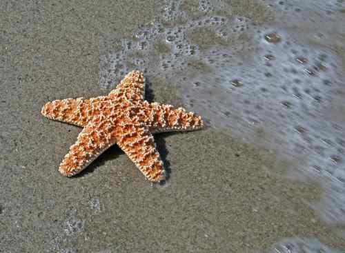 tengeri_csillag